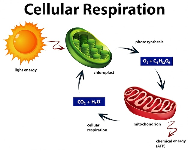 Diagrama de respiração celular Vetor grátis