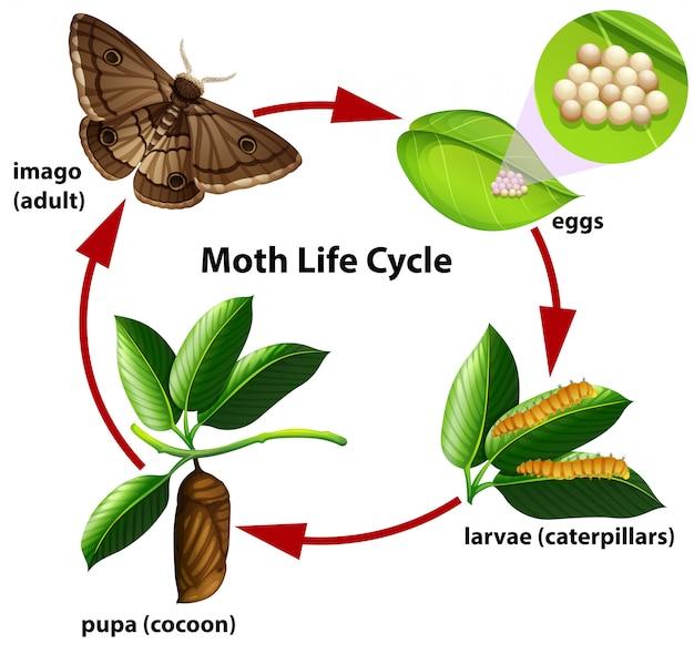 Diagrama do ciclo de vida da traça Vetor Premium