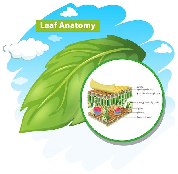 Diagrama mostrando a anatomia das folhas Vetor grátis