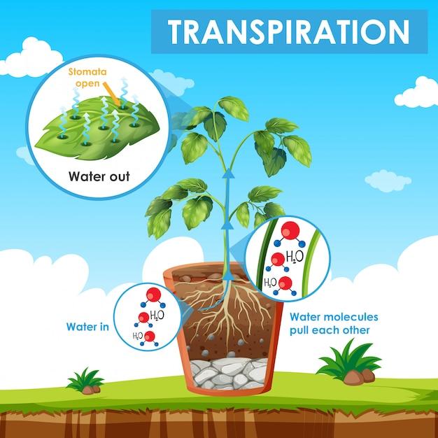 Diagrama mostrando a transpiração na planta Vetor Premium