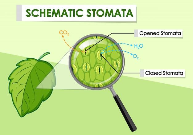 Diagrama mostrando estômatos esquemáticos de uma planta Vetor grátis