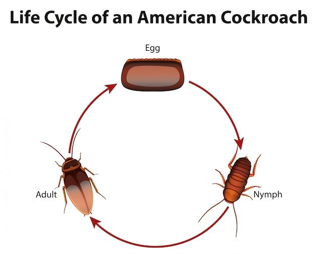 Diagrama mostrando o ciclo de vida da barata Vetor grátis