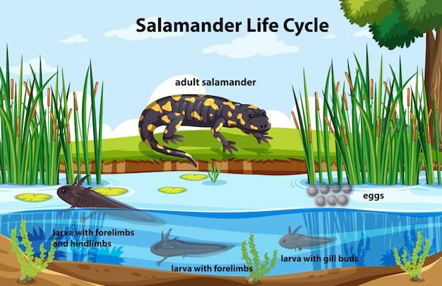 Diagrama mostrando o ciclo de vida da salamandra Vetor grátis