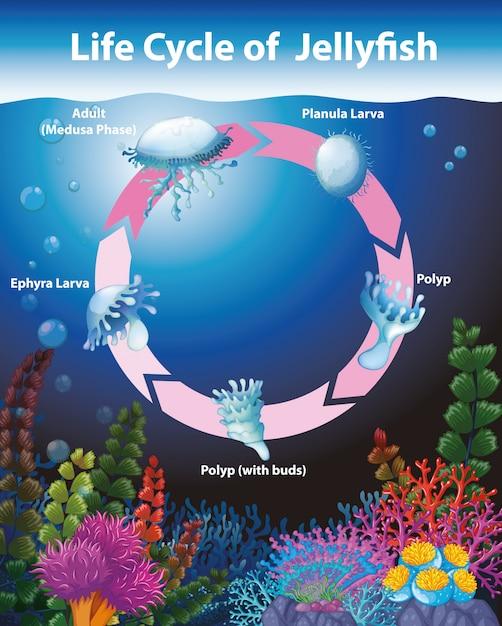 Diagrama mostrando o ciclo de vida das águas-vivas Vetor grátis
