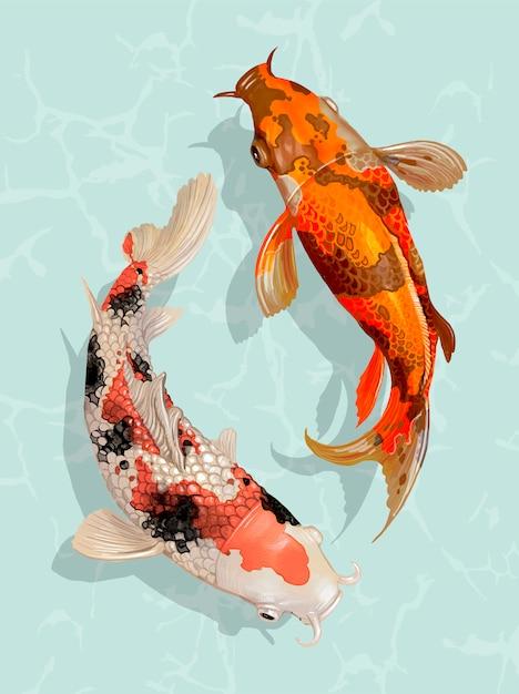 Dois, koi japonês, peixe, natação Vetor Premium