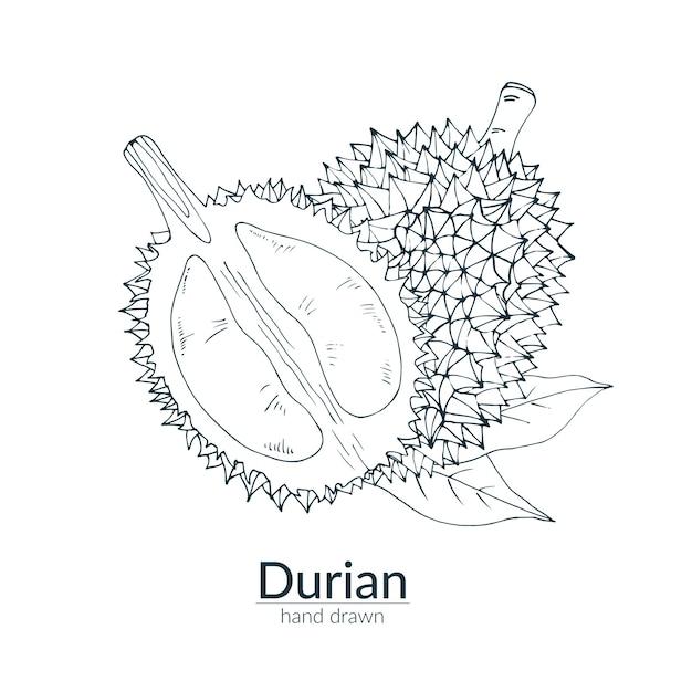 Durian inteiro e cortado, cor monocromática. mão ilustrações desenhadas. cartão, pôster, modelo. Vetor Premium