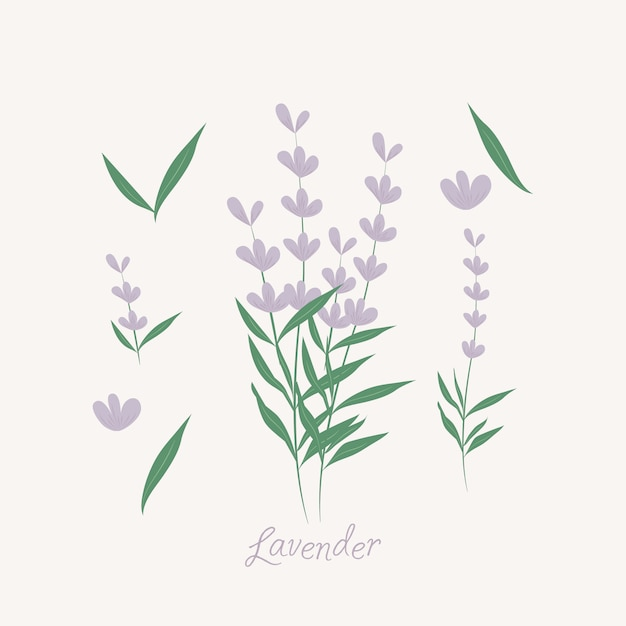 Elementos de flores de lavanda. ervas de lavanda Vetor Premium