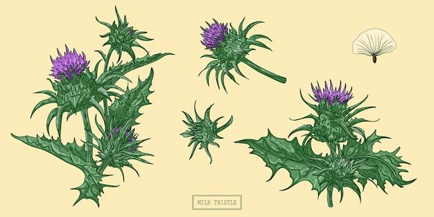 Erva de cardo leiteiro, ilustração botânica desenhada à mão. Vetor Premium