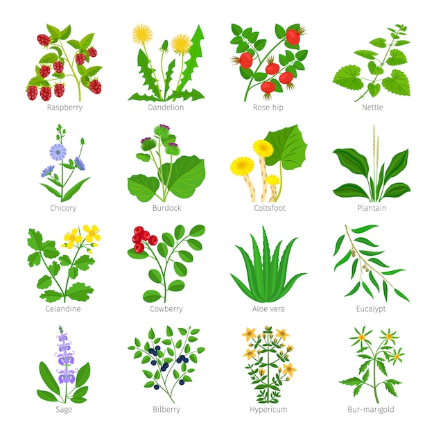 Ervas medicinais de aromaterapia Vetor Premium