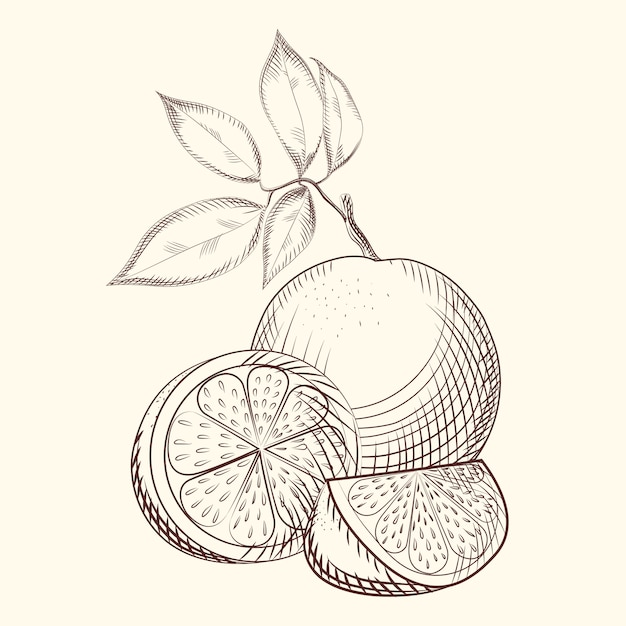Esboço de fruta laranja. fatias de laranjas. frutas tropicais exóticas. Vetor Premium