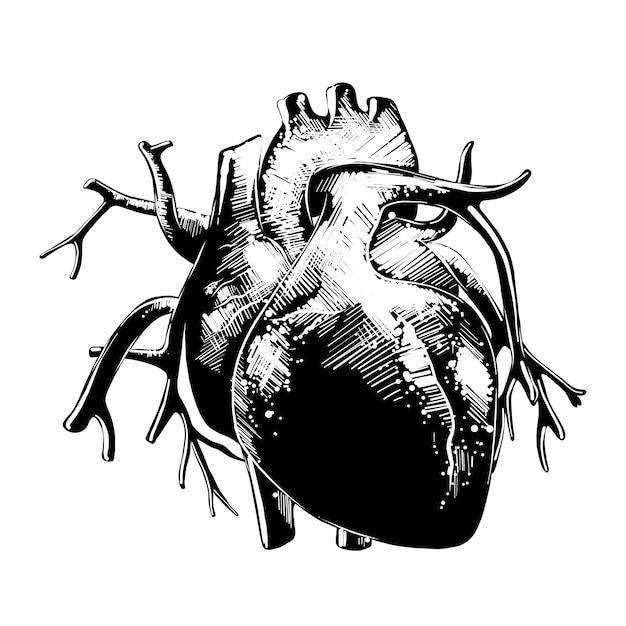 Esboço desenhado de mão de coração anatômico Vetor Premium