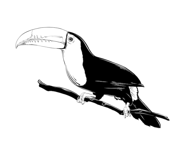 Esboço desenhado de mão do pássaro tucano brasileiro Vetor Premium