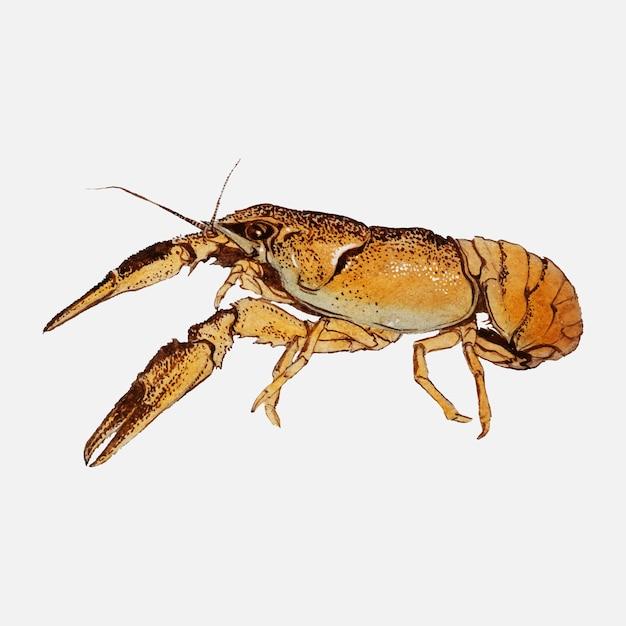 Esboços de lagostins por julie de graag Vetor grátis