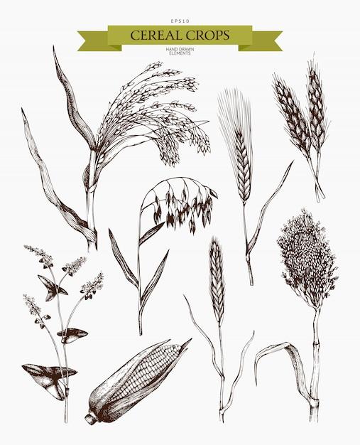Esboços de plantas agrícolas de mão desenhada. coleta de plantas esboçadas à mão de cereais e leguminosas Vetor Premium