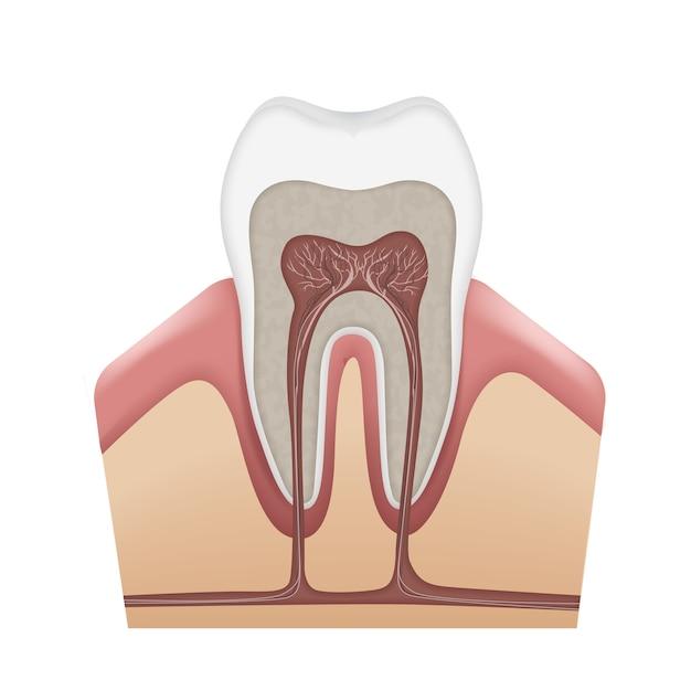 Esmalte, dentina, polpa, gengiva, osso, cemento, canais radiculares, nervos e vasos sanguíneos isolados no fundo branco da anatomia vetorial do dente humano Vetor grátis
