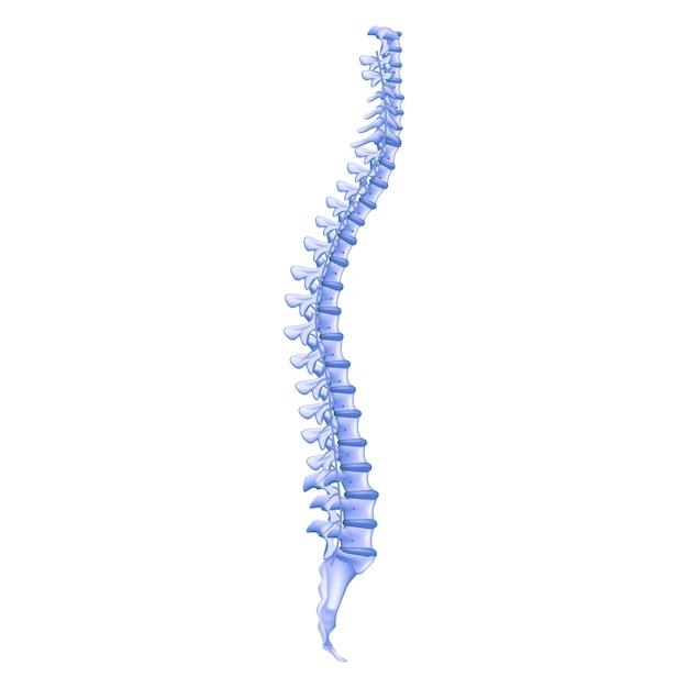 Espinha humana de perfil de osso de ilustração realista Vetor Premium