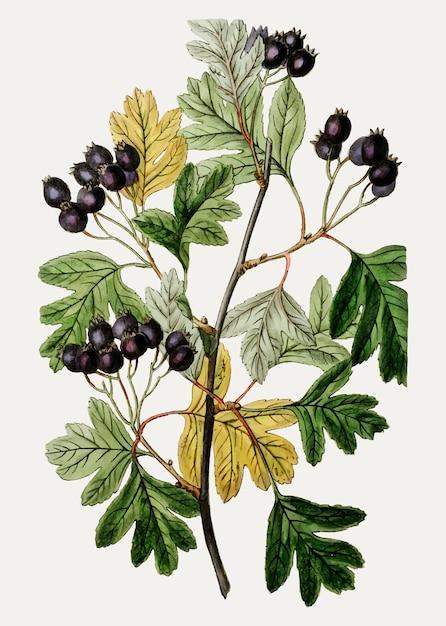Espinheiro preto pequeno-flor Vetor grátis