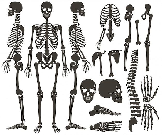 Esqueleto de ossos humanos Vetor Premium