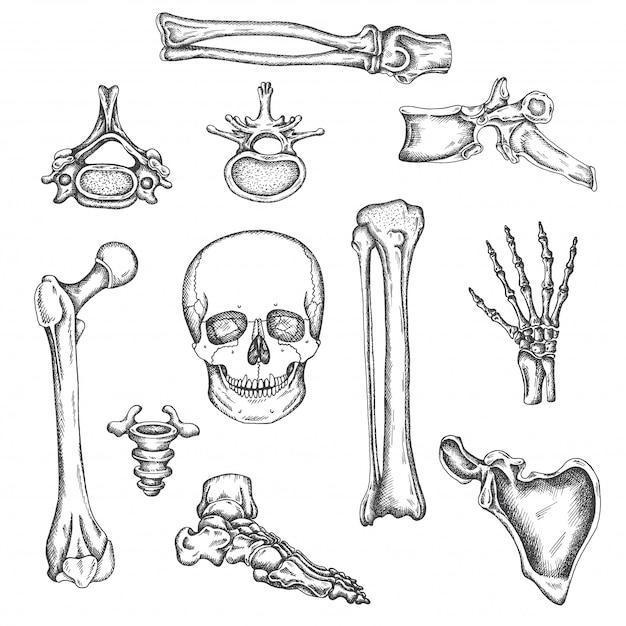 Esqueleto humano, ossos e articulações. ilustração em vetor desenho isolado. conjunto de ossos de anatomia. imagens ortopédicas médicas. desenho de joelho, crânio e coluna vertebral Vetor Premium