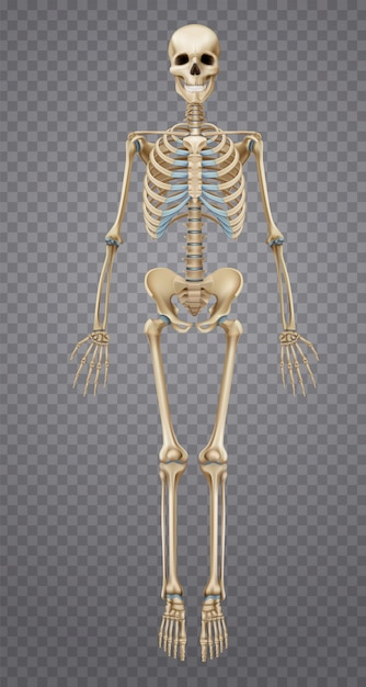 Esqueleto humano realista Vetor grátis