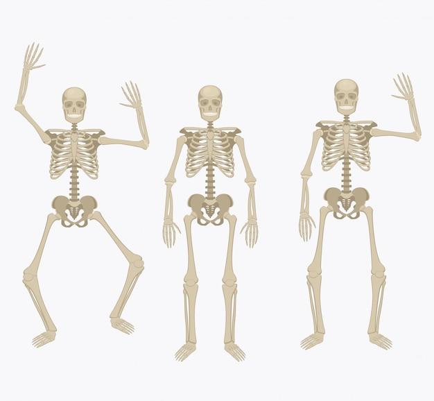 Esqueleto humano. Vetor Premium