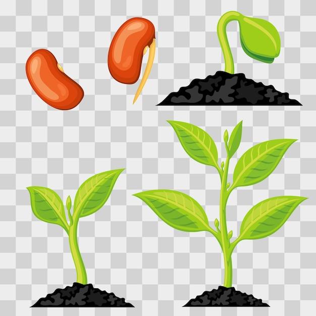 Estágios de crescimento de plantas de sementes para brotar isolado Vetor Premium
