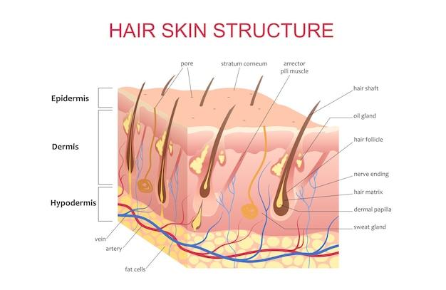 Estrutura 3d do couro cabeludo, pele, cabelo, educação anatômica, infográfico, informações, pôster, ilustração Vetor Premium