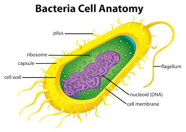 Estrutura Celular De Bactérias Vetor Premium