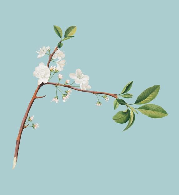 Flor de ameixa da ilustração de pomona italiana Vetor grátis