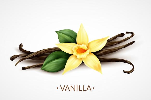 Flor de baunilha fresca perfumada doce com composição realista de vagens de sementes secas, de sabor culinário distinto Vetor grátis