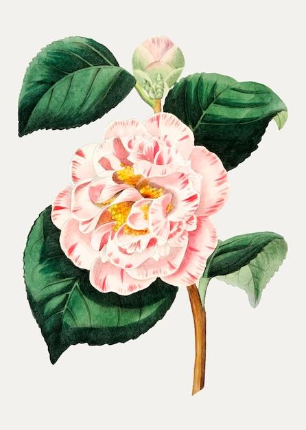 Flor de camélia Vetor grátis