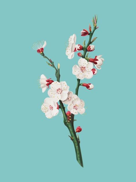 Flor de damasco da ilustração pomona italiana Vetor grátis