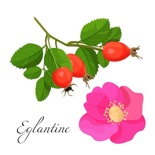Flor de eglantine e filial com frutas vermelhas ajustadas. planta natural com flor rosa e frutos sadios. Vetor Premium
