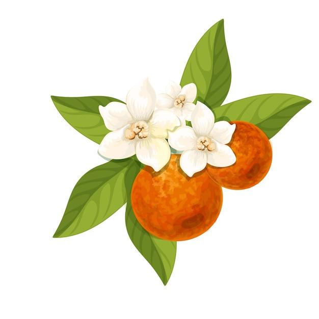 Flor de laranjeira isolada Vetor Premium