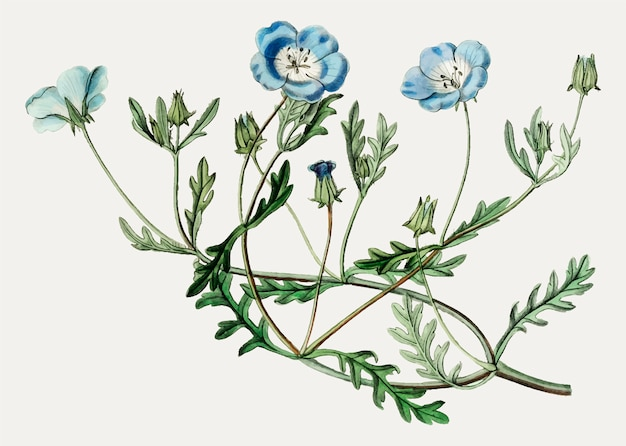 Flor de olhos azuis de bebê Vetor grátis