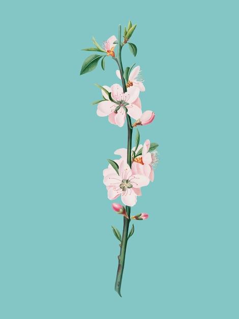 Flor de pêssego da ilustração de pomona italiana Vetor grátis