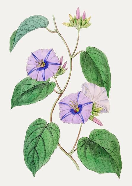 Flor jacquemontia roxa Vetor grátis