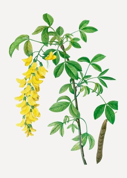 Flores comuns de laburno Vetor grátis