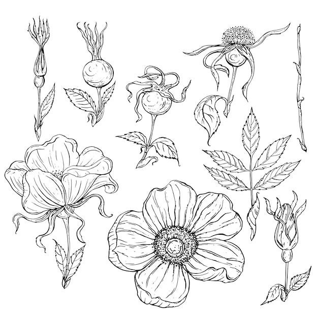Flores de contorno preto e brancas e brotos e folhas de flores rosas selvagens Vetor Premium