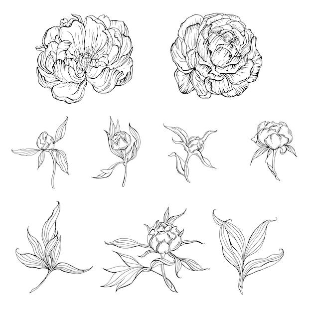 Flores de contorno preto e branco e brotos e folhas de flores de peônia Vetor Premium