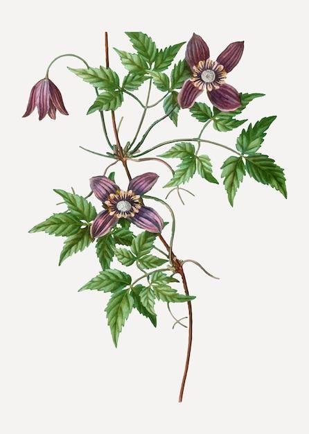 Florescendo clematis alpino Vetor grátis