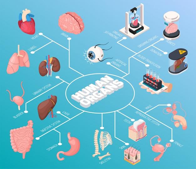 Fluxograma isométrico de órgãos humanos demonstrou órgãos internos masculinos e femininos e também doação por transfusão de sangue Vetor grátis