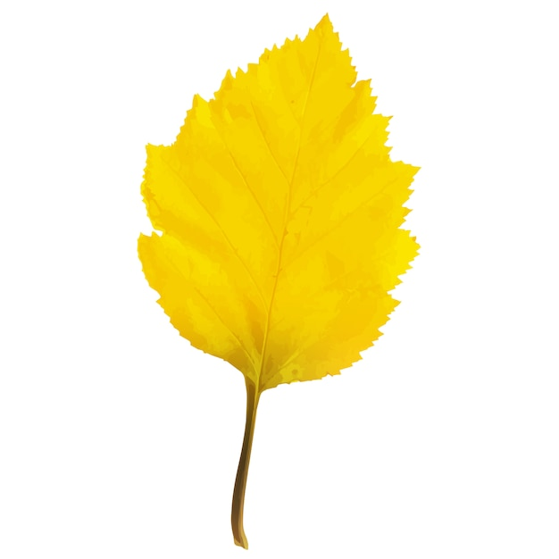 Folha de árvore de amieiro realista na mudança de cores de outono. Vetor Premium