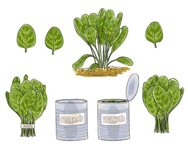 Folhas de espinafre mão desenhada arte vetorial conjunto arte illustratio Vetor Premium