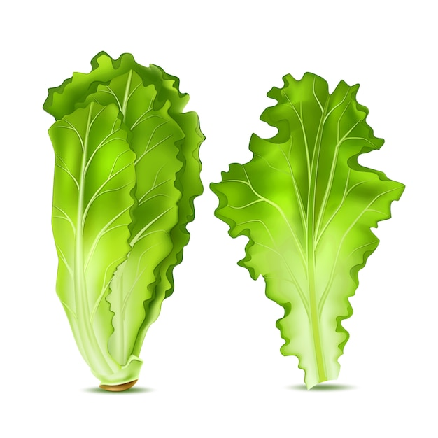 Folhas de salada de alface realista Vetor Premium