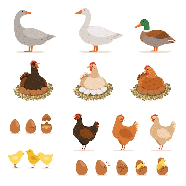 Frango ninhada, patos e outras aves de fazenda e seus ovos. Vetor Premium