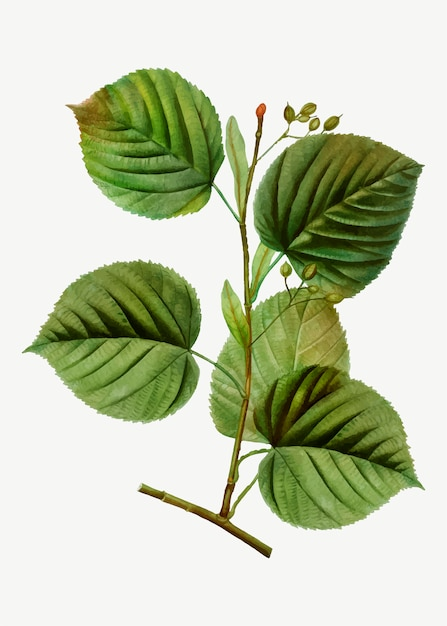 Galho de árvore de tília Vetor grátis