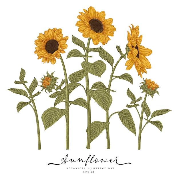 Girassol altamente detalhadas ilustrações botânicas desenhadas à mão. Vetor Premium