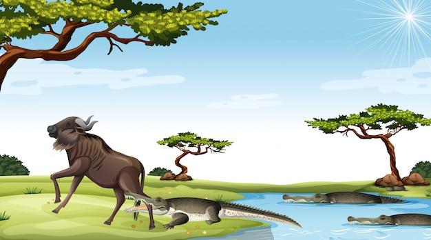 Gnus comido por crocodilo no fundo da savana Vetor Premium