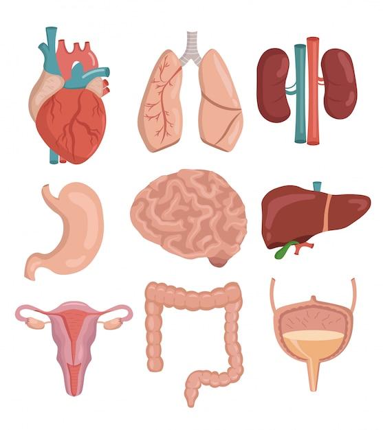 Grande conjunto de ilustração em vetor dos desenhos animados de órgãos humanos Vetor Premium